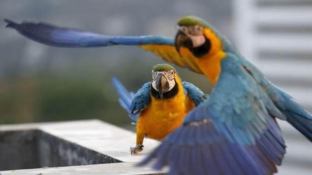 10- Macaw papağanı (Ara papağanı)