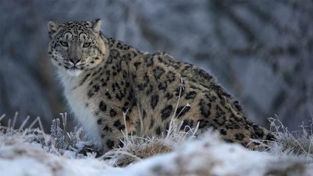 7- Kar leoparı