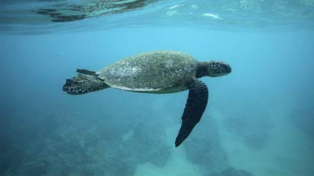 5- Hawksbill Kaplumbağaları