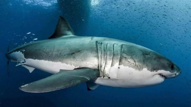 4- Köpekbalıkları