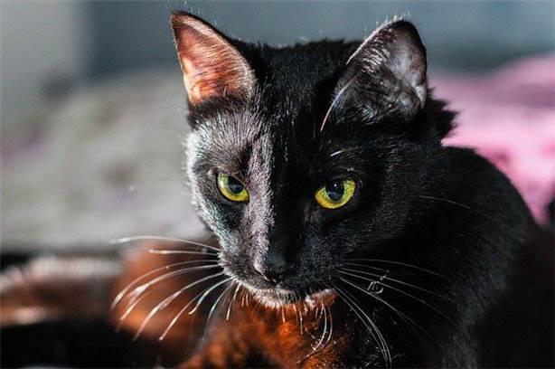 Kara kedi uğursuz değil
