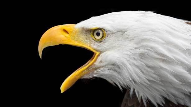 ABD - Beyaz Başlı Kartal<br /> &nbsp;