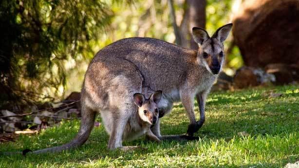 Avusturalya - Kanguru<br /> &nbsp;