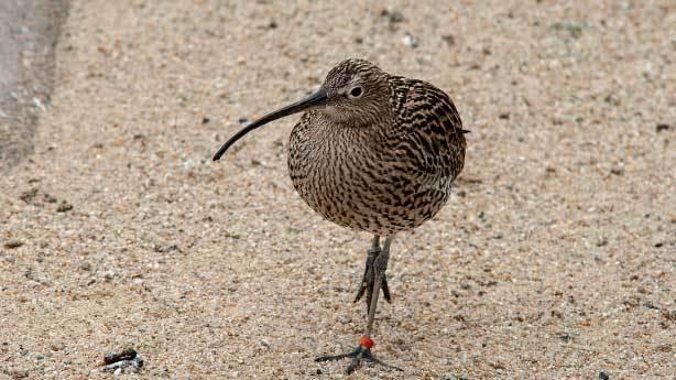 Yeni Zelanda - Kivi Kuşu<br /> &nbsp;