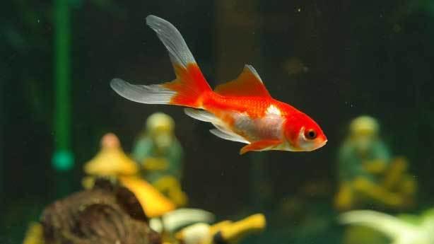 Balıkların hafızası 3 saniyedir<br /> &nbsp;