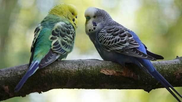 Muhabbet kuşu<br /> &nbsp;