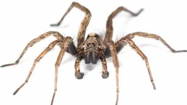 Keşiş örümceği zehri