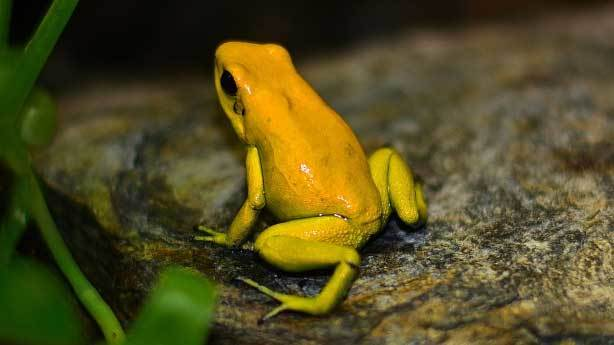 Kolombiya altın kurbağası