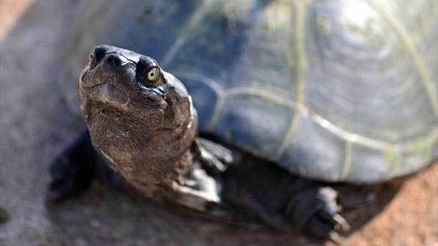 Bazı kaplumbağalar popolarından nefes alıyor