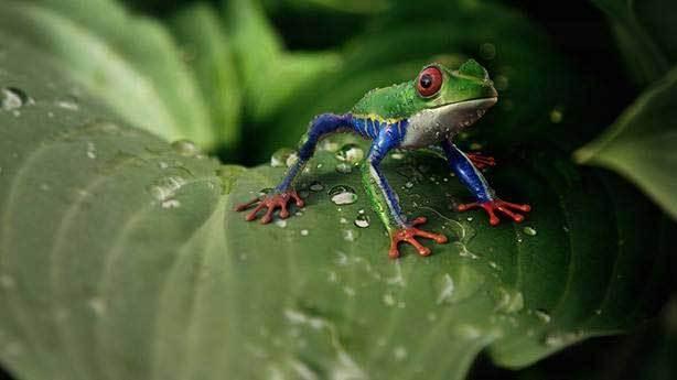Hamilelik testi eskiden kurbağalar üzerinde yapılırdı