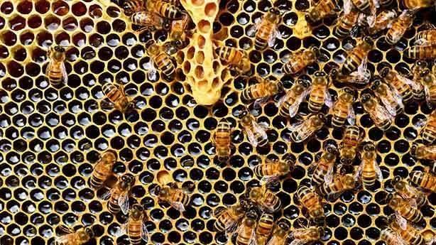 Arılar bombaları tespit edebilir