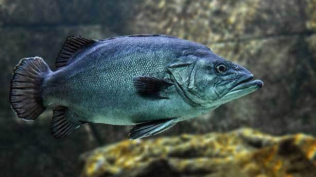 Paşa gönlü isterse dışarı çıkabilen balık