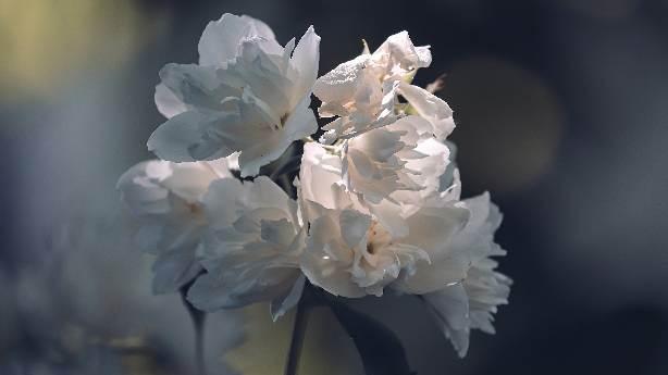 Yasemin çiçekleri yasak
