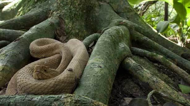 Yılan Adası, Brezilya