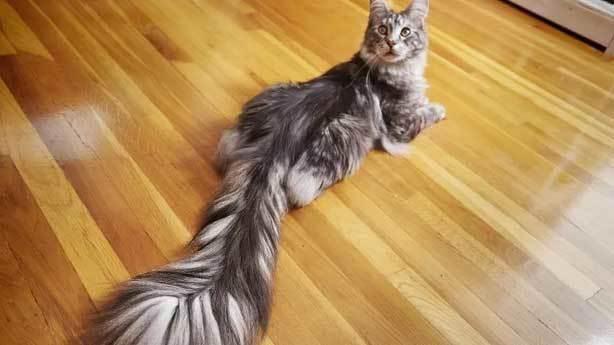 En uzun kedi kuyruğu