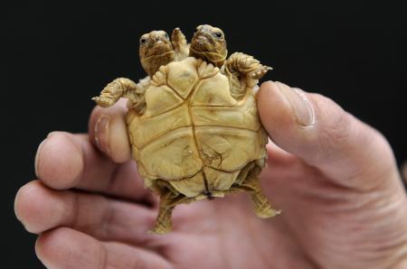 İki kafalı kaplumbağa!