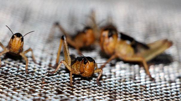 """Ürettiği çekirge, hamam böceği ve un kurdu """"yok"""" satıyor"""