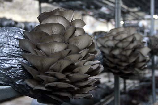 Eski hükümlü, mantar üreticiliğiyle hayata tutundu