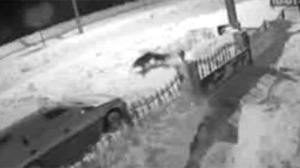 İlçe merkezine inen kurt köpeği sürükleyerek götürdü