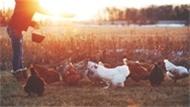 Tavuk Çiftliği Kuranlar 1 Milyon Lira Kazançlı Çıkıyor!
