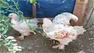 Ödünç Aldığı Tavuklarla Patron Oldu!