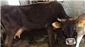 Erzurum'da inek can aldı
