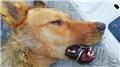 Ağzına çelik halka sıkışan köpek çaresizce kurtarılmayı bekledi