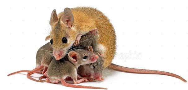 İki anneden fare üretildi