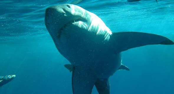 Плавающая возле побережья Приморского края акула.  Фото с сайта vesti.ru.