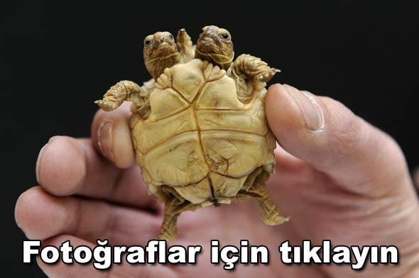 Iki Kafalı Kaplumbağa Dünya Haberleri