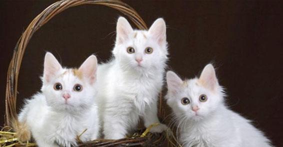 Ankara kedisi yok olmak üzere