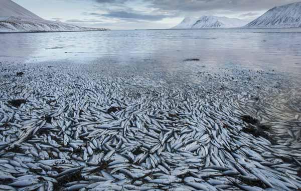 İzlanda'da toplu balık ölümleri araştırılıyor