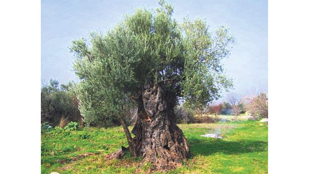 1300 Yıllık Zeytin Ağacı Son Dakika Haberler