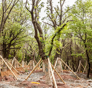 Ağaçların taşınması tamamlandı