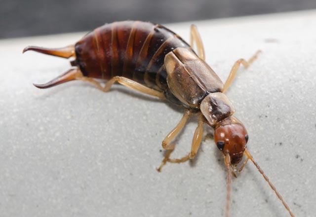 Bir rüyada Hamamböceği - genellikle iyi