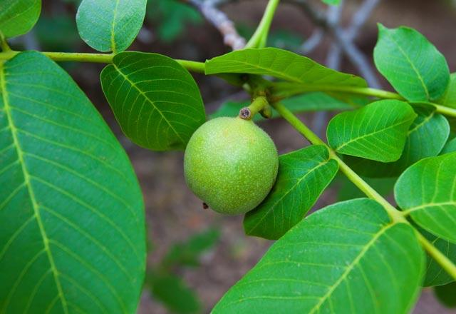 ceviz yaprann faydalar ceviz yapra ay nasl yaplr ceviz yapra aynn faydalar alternatif tp haberleri