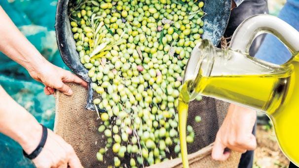 Edremit Körfezi'nde zeytinyağı sıkımı başladı