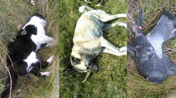 Trabzon'da esrarengiz hayvan ölümleri!