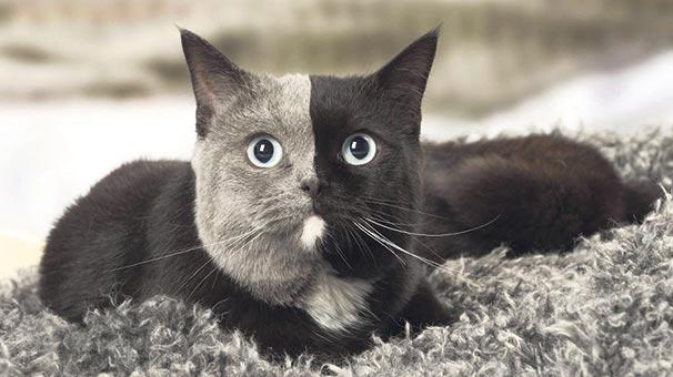 Grinin kedi tonu