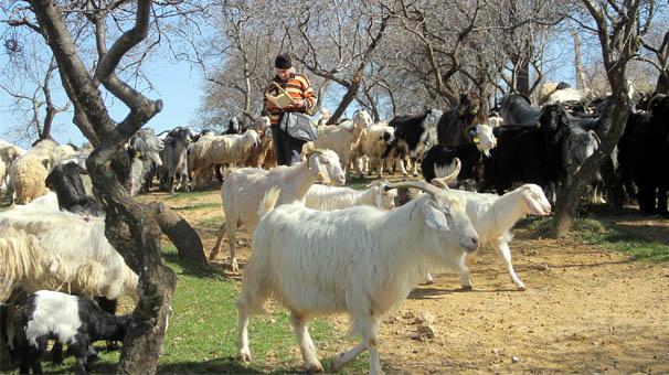 Tunceli'de çobanlar 6 bin lira maaşı az buluyor