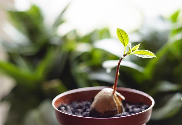 Avokado nasıl ekilir?