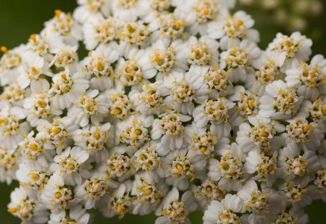 Civanperçemi. Sağlığın korunması için bitkilerin yararlı özellikleri