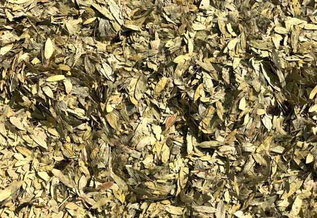 Sinameki çayı nasıl yapılır, faydaları nelerdir?