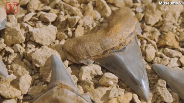 25 milyon yıllık köpek balığı dişi bulundu