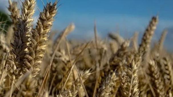 """Bakanlıktan """"buğday stoku"""" açıklaması"""
