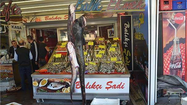 Yeşilırmak'ta oltaya 1 metre 75 santimlik yayın balığı takıldı