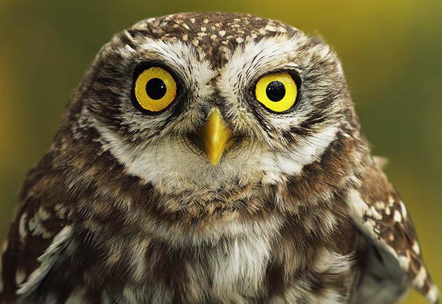 Kukumav kuşu hangi kuş türüdür ve özellikleri nelerdir?