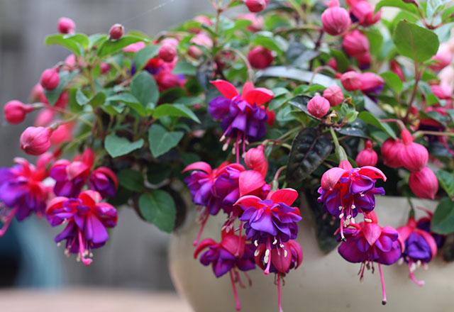 Küpe çiçeğinin özellikleri nelerdir?