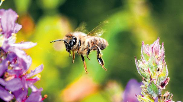 Arılar kurtulacak! Bal gibi yasak