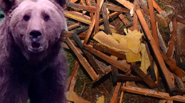 Muğla'da ayılar terör estirdi!